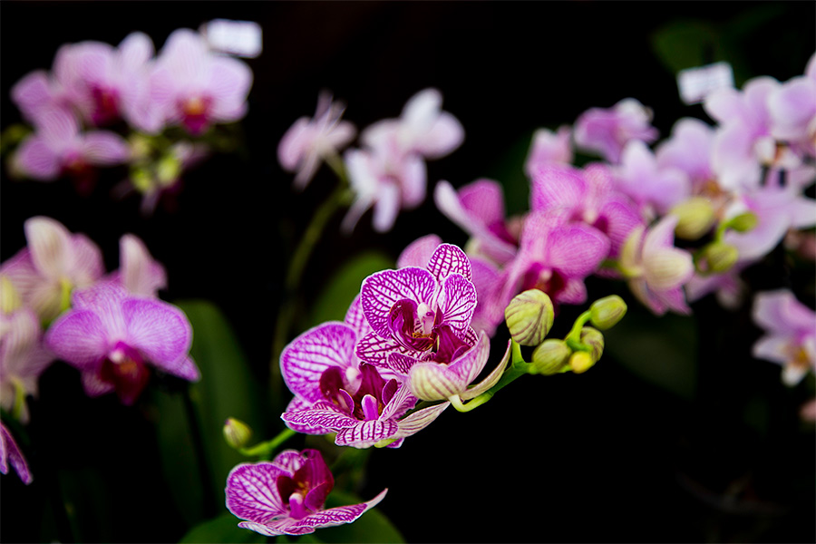 Orchidee ad Ipomea
